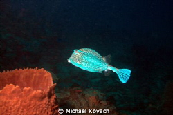 Cowfish on Abbey Too Reef on Hillsboro Ledge. by Michael Kovach 